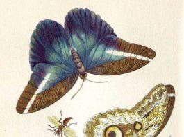 Metamorphosis Insectorum Surinamensium. Domaine public.
