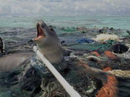 Photo Phoque prise dans filet de pêche