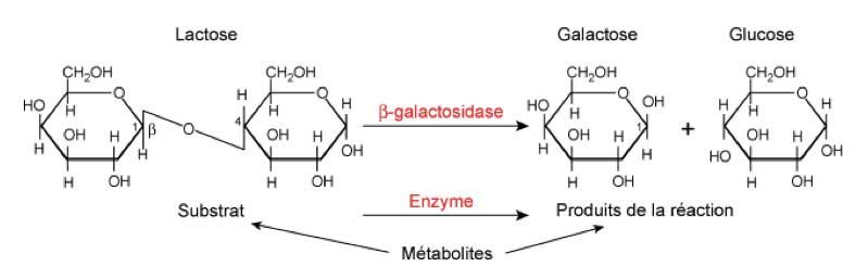 Conversion lactose galactose