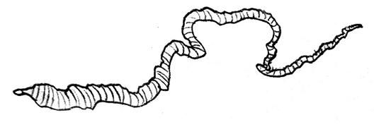 S. solidus sous sa forme de ver