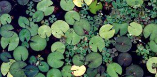 Plantes aquatiques