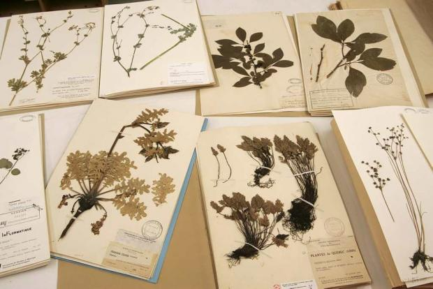 Des exemplaires de l'herbier Marie-Victorin. Photo: Espace pour la vie (Michel Tremblay)